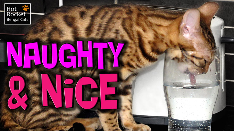 Naughty & Nice – Funny Bengal cats climbing, eating things & causing trouble
