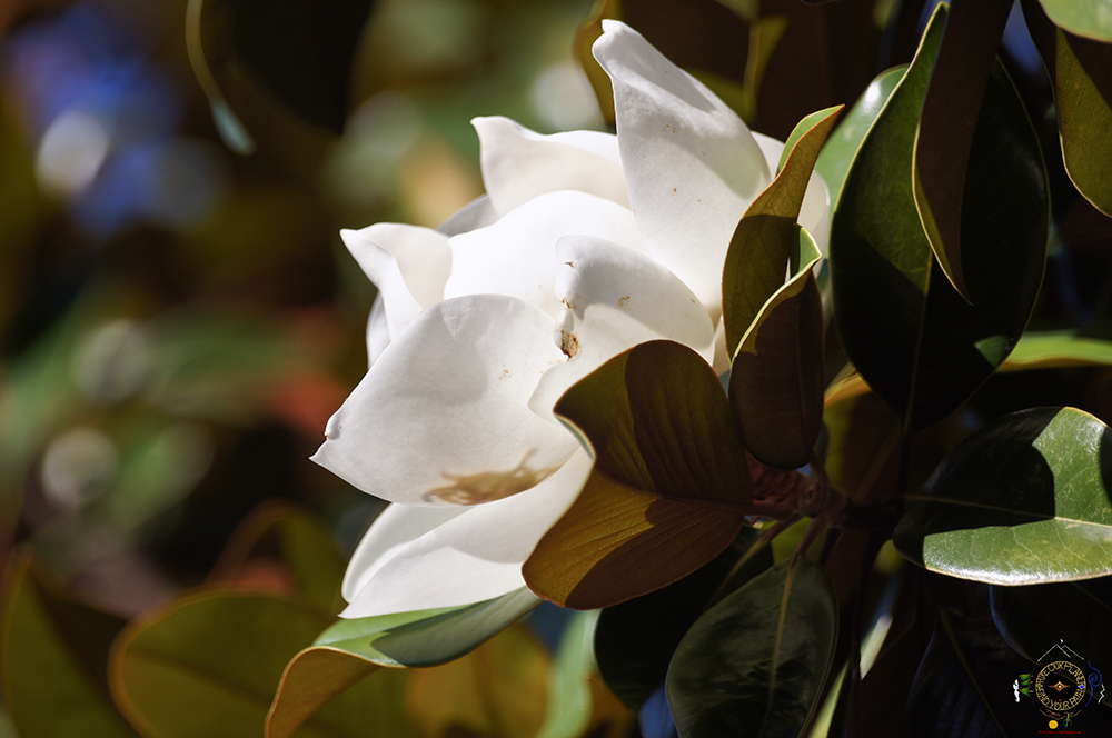 Southern Magnolia Blossoms in the Morning Light