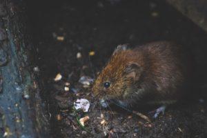 hot tub rat infestation