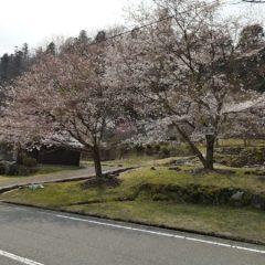 大江山 桜