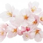 大阪城 桜 開花予想と時期 桜の見頃はいつ?
