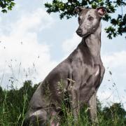 greyhound dog photography