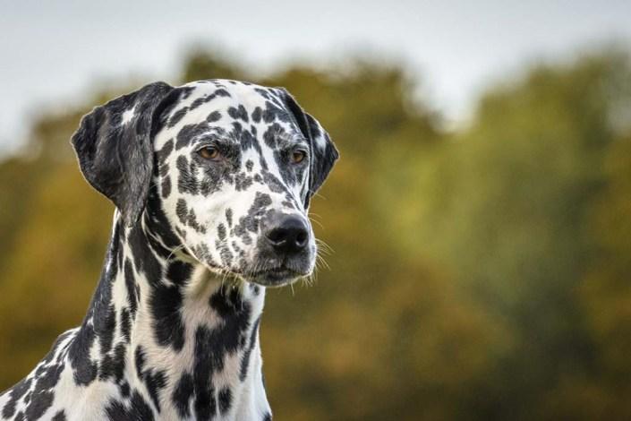 surrey dog photographer dalmation
