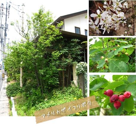 おすすめの植物 : ジューンベリー