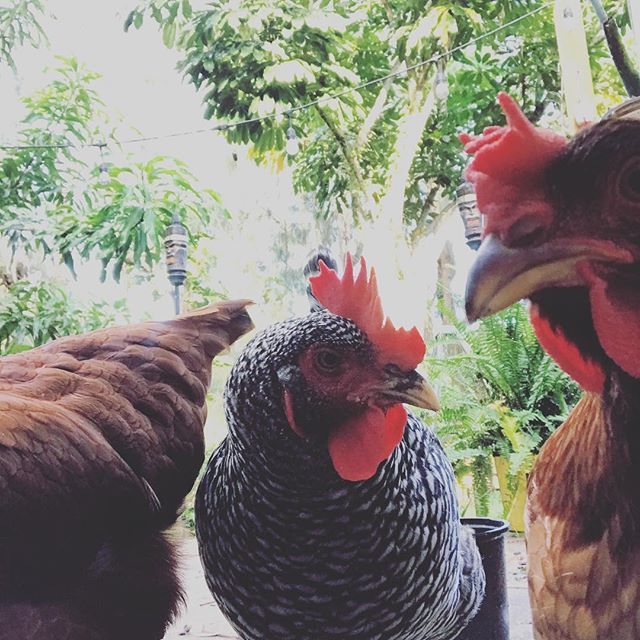10 Hip Hop Names For Chickens (Watch out, Chicki Minaj!)