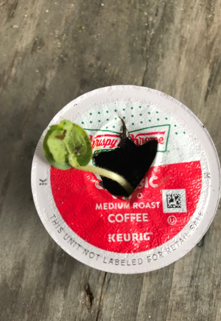 Starting Plants in Used K-Cups Using The Old Coffee Grounds