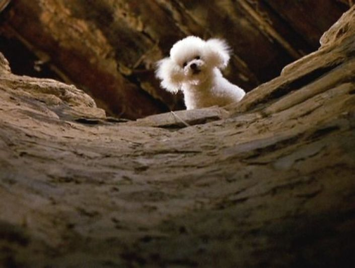 Bichon Frise from Silence of the Lambs