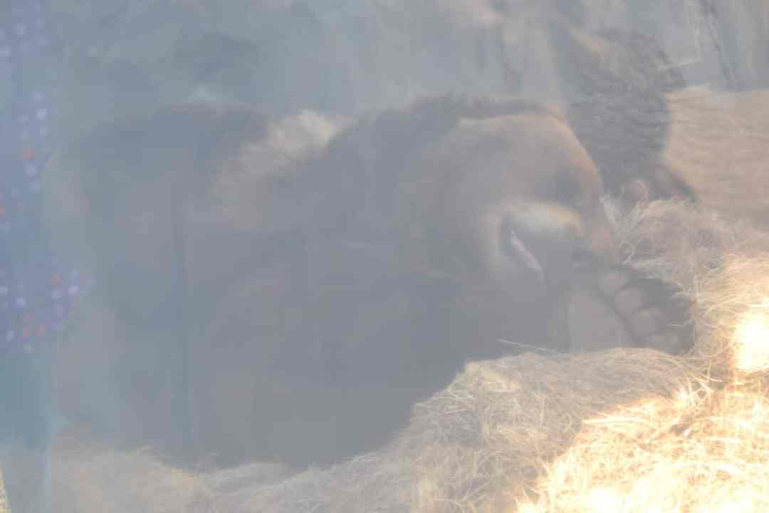 Brown Bear, Brookfield Zoo