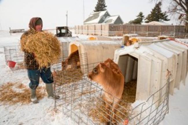 Winter Cattle-Feeding