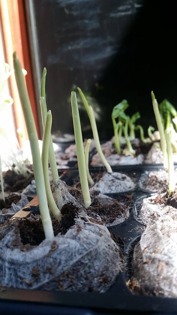 Sweet Corn Seedlings