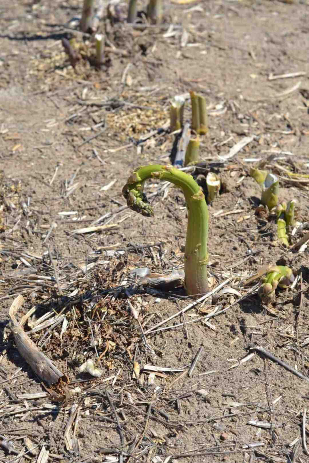 Asparagus hit by a cold and warm front in back to back days