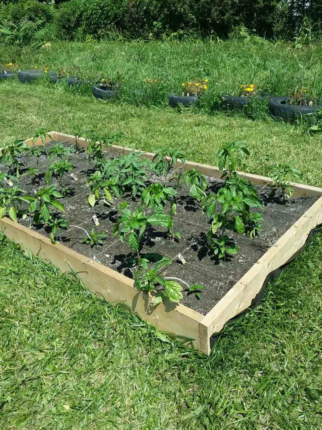 Raised bed full of pepper plants.
