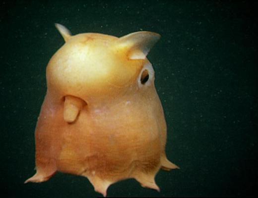 Dumbo Octopus