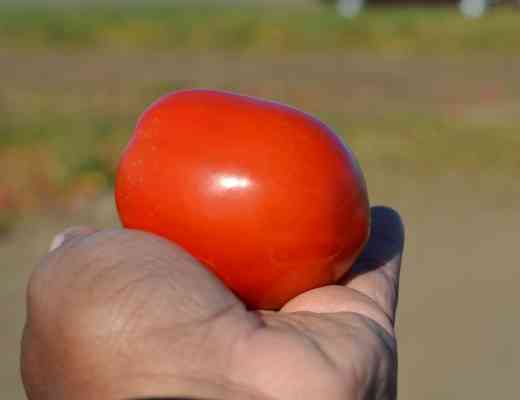 Tomato Processing #FarmtoPlate