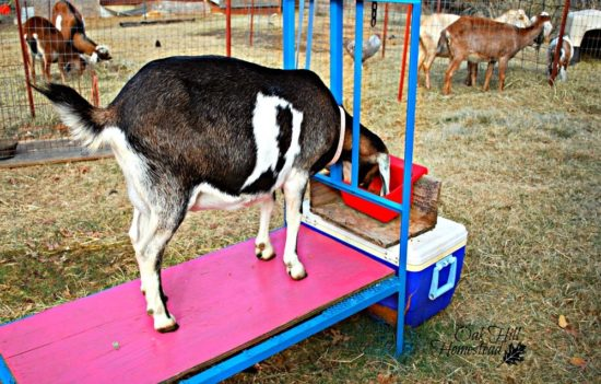 Homestead Blog Hop Feature - How to Dry Off Your Dairy Goat
