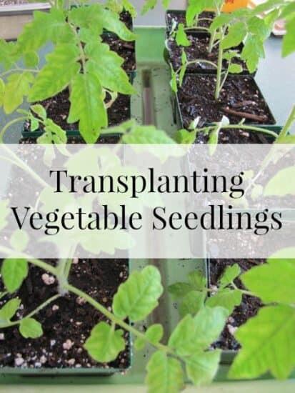 Homestead Blog Hop Feature - transplanting-seedlings