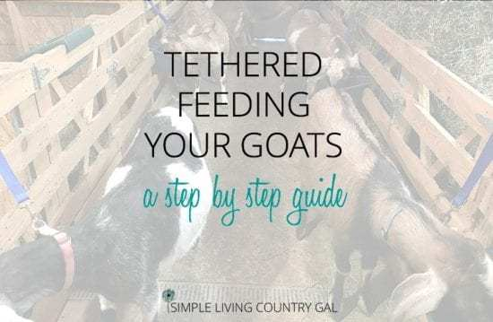 Homestead Blog Hop Feature - Tethered-feeding-goats-step-by-step