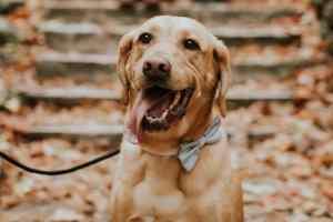 Nash the Labrador
