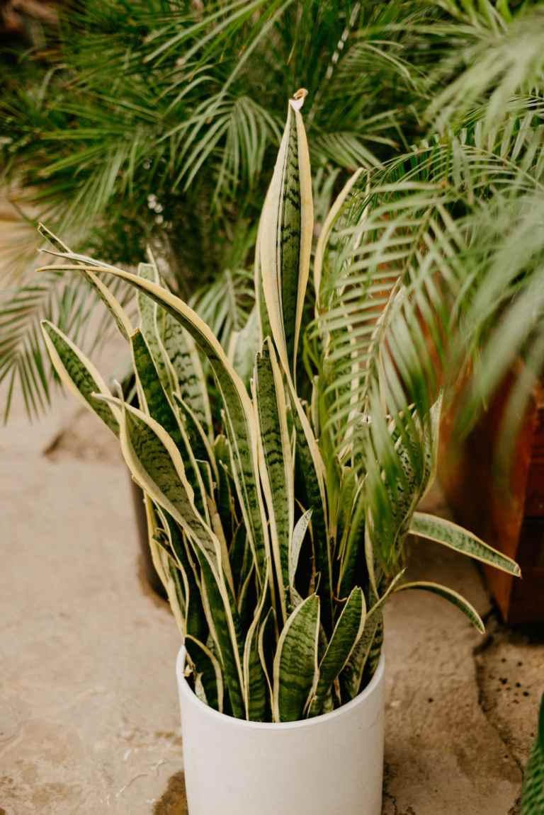 snake plant houseplant care
