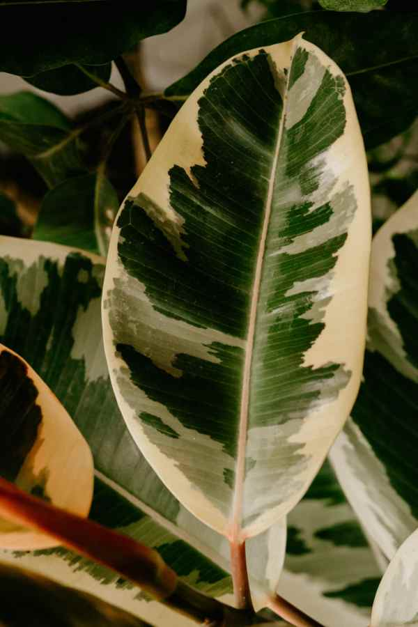 variegated elastica