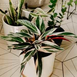 Tricolor Prayer Plant Stromanthe Triostar