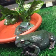 """Imagine waking up one day and deciding """"I'm going to exhibit prize-winning frogs at the Easter Show""""!"""