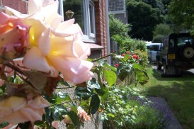 Beautiful old roses (scented) unde the kitchen window.