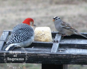 Red Bellied Woodpecker on feeder