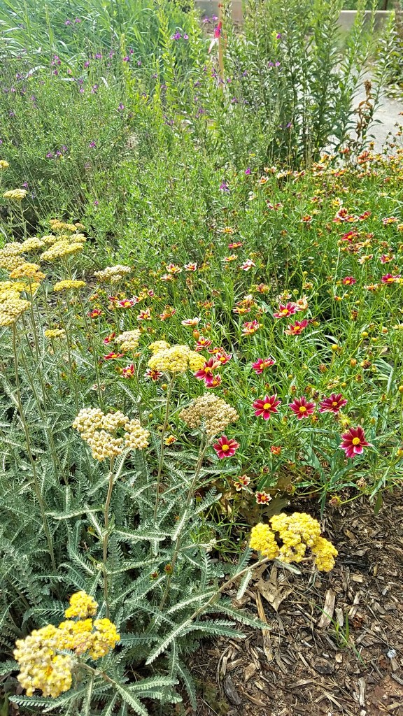 Yarrow and Coreopsis from HouseofIngrams.com
