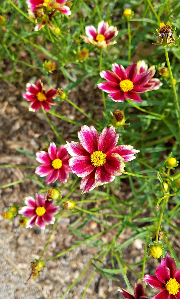 Redshift Coreopsis from HouseofIngrams.com