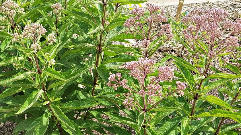 Joe Pye Weed Prairie Jewel