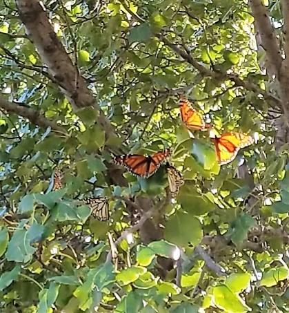 Monarch butterflies roosting in tree