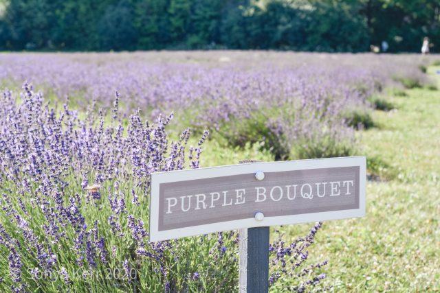 Purple Bouquet Lavender Field