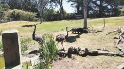 Rheas and Giant Anteater