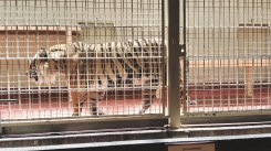 Majestic beast locked in a cage. Shame. This Amur tiger has about 450 more of its kind in the wild.