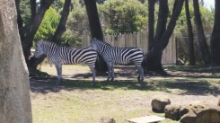 Zebras, the more fashion-forward cousins of horses.