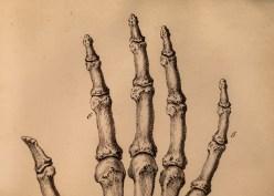 Bones of fingers