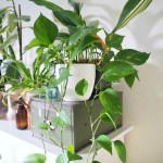 Pothos Varieties Identification Guide Care Tips Houseplanthouse