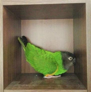 Louis, the Senegal parrot