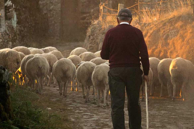 House Sitting Shepherd Looking after sheep