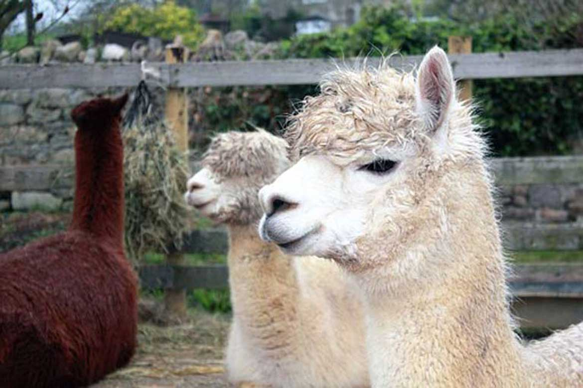 The Huacaya - Know your alpaca