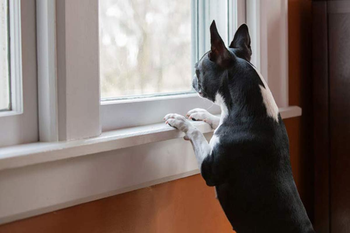 Dog staring out of window