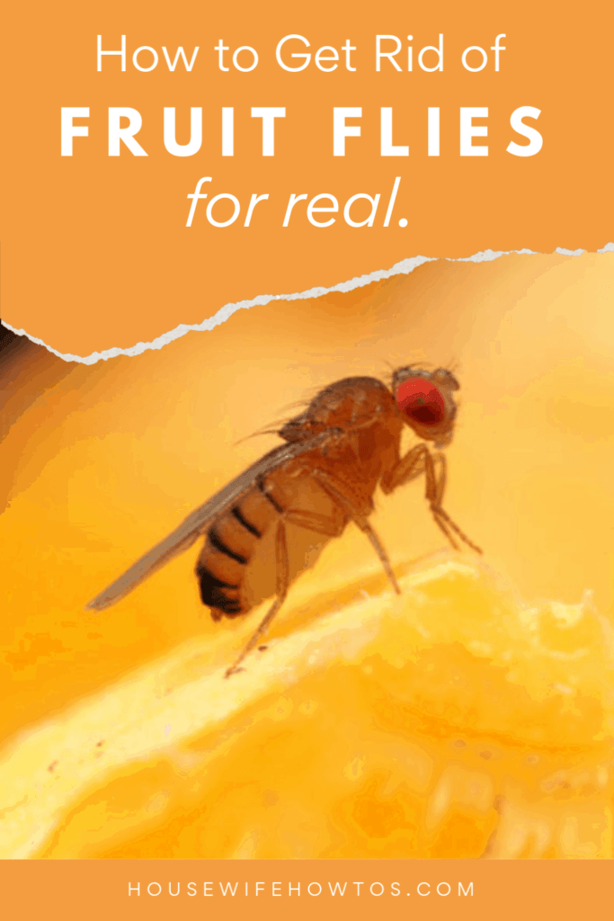 how to kill fruit flies and get rid of