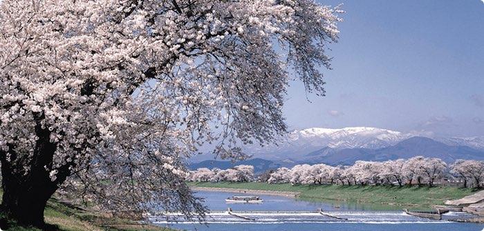 floracion cerezos japon