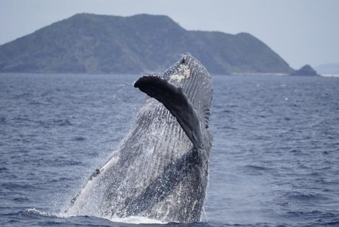 Avistamiento de ballenas jorobadas en Zamami, Okinawa, Japón