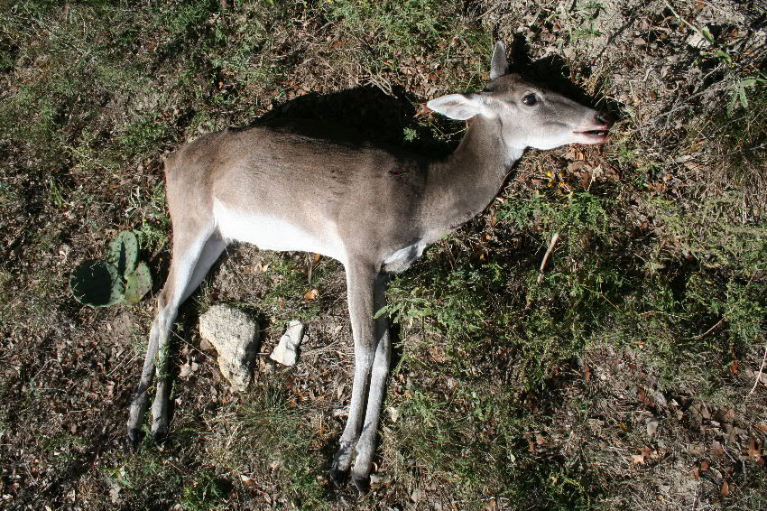 E-mail A TX doe in decline with reduced body size large head and shrunken muscles on a large bony frame