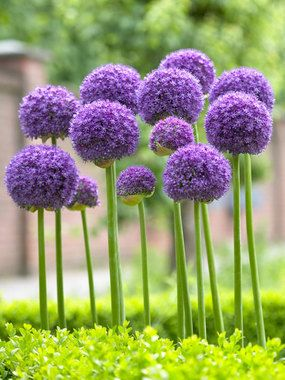 Allium Gladiator bulbs – Height: tall 44″   (Plant 6-8″ apart.) blooms Late Spring to Early Summer. Full Sun, Soil Condition: