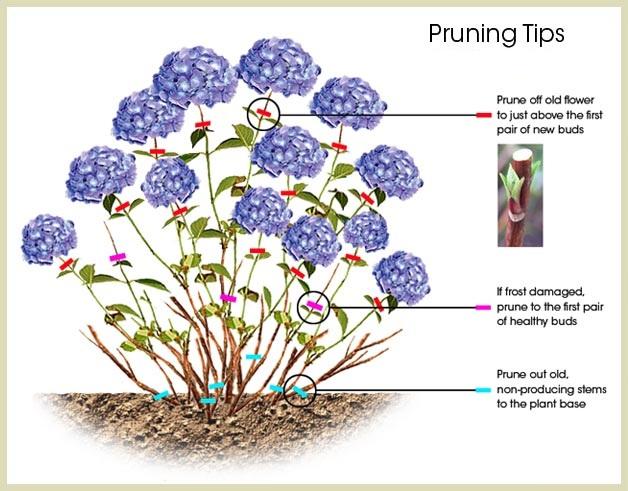 Hydrangea Pruning Tips