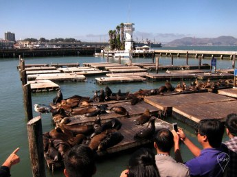 The sea lions have been hauling out on Pier 39 since 1989.