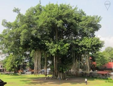The large banyan tree next to Mendut Temple.